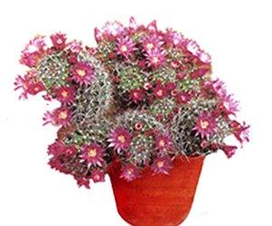 Маммиллярия цейльмана - Комнатные растения