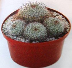 Нотокактус Хазельберга - Комнатные цветы