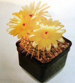 Нотокактус сосочковый - Комнатные цветы