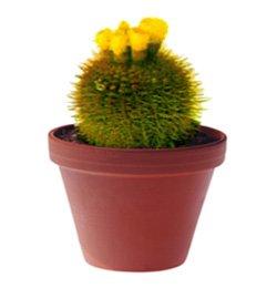 Нотокактус отто - Комнатные цветы
