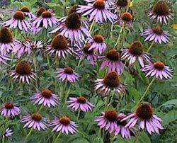 Эхинацея пурпурная - Лекарственные растения