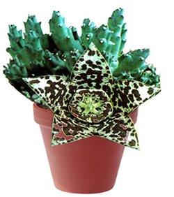 Орбея пестрая - Комнатные цветы