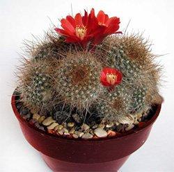 Ребуция куппера - Комнатные цветы