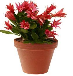 Рипсалидопсис гартнера - комнатные цветы