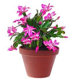 Шлюмбергера бакли гибридная - Комнатные цветы