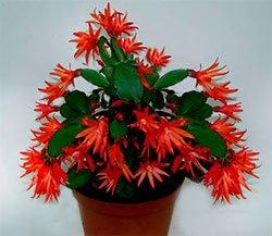 Шлюмбергера обрубленная - Комнатные растения