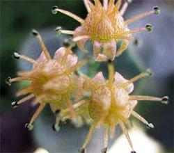 Очиток зибольда - Комнатные растения