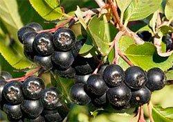 Арония черноплодная (рябина черноплодная), описание, применение