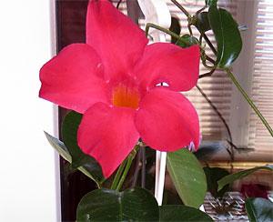 Дипладения - комнатные цветы