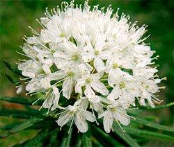 Багульник болотный - Лекарственные растения