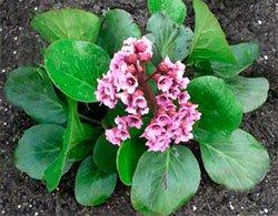 Бадан толстолистный - Лекарственные растения