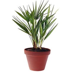 Хамеропс приземистый - Комнатные растения