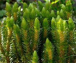 Баранец обыкновенный (плаун-баранец) - лекарственные растения