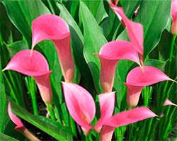 Безвременник великолепный - Лекарственные растения
