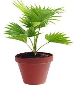 Ливистона китайская - Комнатные растения