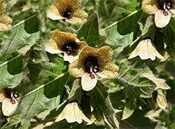 Белена черная - Лекарственные растения
