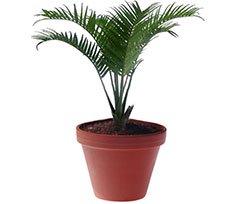 Литокариум ведделя - Комнатные растения