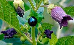 Белладонна (красавка) - Лекарственные растения