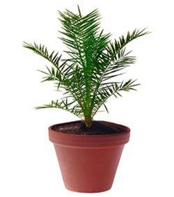 Финик канарский - Комнатные растения