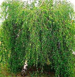 Береза повислая (береза бородавчатая) - Лекарственные растения
