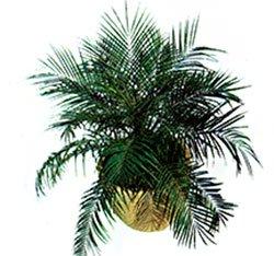 Финик робелена - Комнатные растение