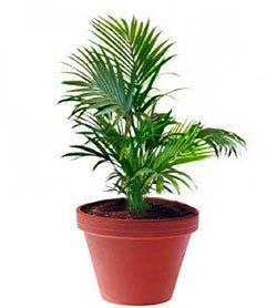 Рапис высокий - Комнатные растения