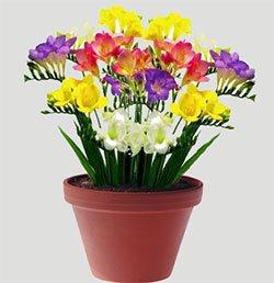 Фреезия гибридная - Комнатные растения
