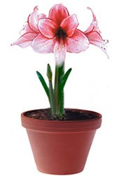 Гиппеаструм гибридный - Комнатные растения
