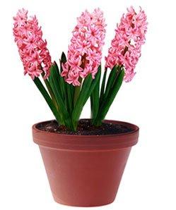 Гиацинт восточный - Комнатные растения