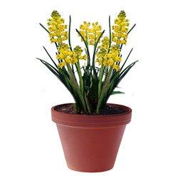 Лашеналия алоэвидная - Комнатные цветы