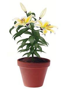 Лилия длинноцветковая - Комнатные цветы