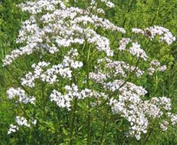Валериана лекарственная - Лекарственные растения