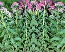 Вахта трехлистная (трифоль) - Лекарственные растения