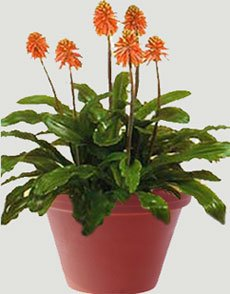 Вельтгеймия капская - Комнатные растения