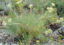 Вздутоплодник сибирский - лекарственные растения