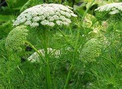 Виснага морковевидная (амми зубная) - Лекарственные растения