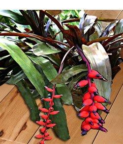 Эхмея  любимица Фостера - Комнатные растения