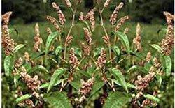 Горец почечуйный (почечуйная трава) - Лекарственные растения