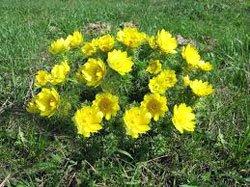 Горицвет весенний (адонис весенний) - Лекарственные растения