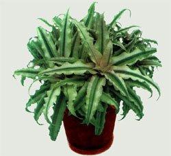Криптантус двуполосый - Комнатные растения