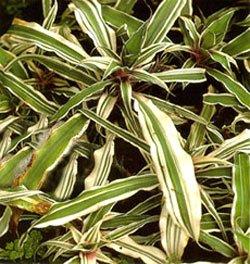 Криптантус бромелиевидный - Комнатные растения
