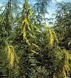 Датиска коноплевая - Лекарсвенные растения