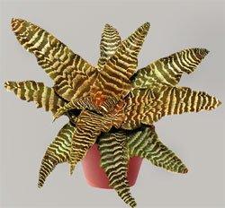 Криптантус фокстера - Комнатные растения