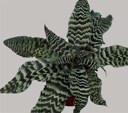 Криптантус поперечно- полосатый - Комнатные растения