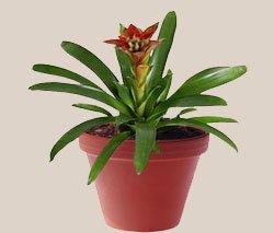 Гусмания язычковая - Комнатные растения