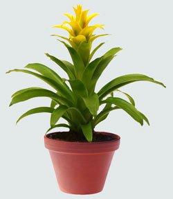 Гусмания одноколосая - Комнатные растения