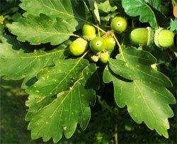 Дуб черешчатый, или обыкновенный - Лекарственные растения