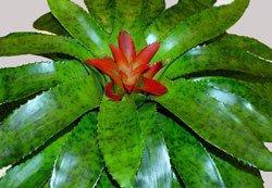 Нидуляриум блестящий - Комнатные растения