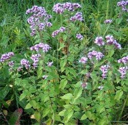 Душица обыкновенная - Лекарственные растения