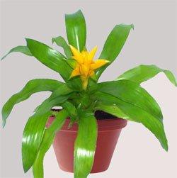 Нидуляриум иннокентия - Комнатные растения